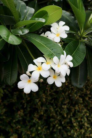 pagoda flower, frangipani, frangipani flower or pagoda tree