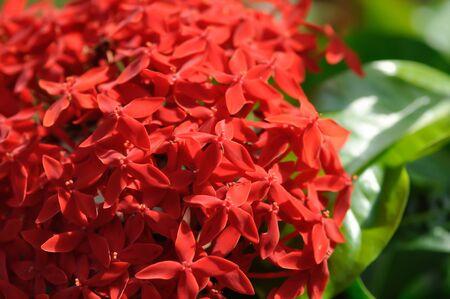 Ixora stricta Roxb or West Indian Jasmine, red West Indian Jasmine Stock Photo