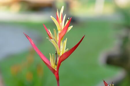 Heliconia, Heliconia flower or Heliconia plant