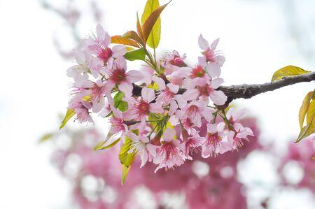 cherry blossom or prunus cerasoides or sakura, wild himalayan cherry