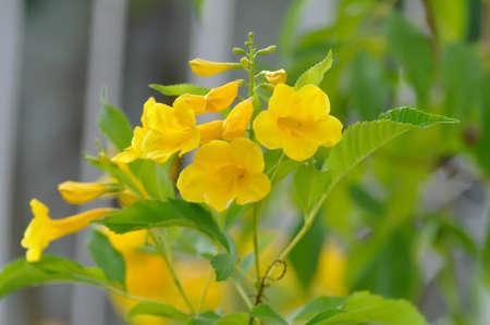 Trumpet vine, Yellow, Yellow bell or Yellow elder flower