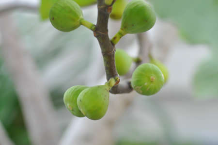 fig plant, fig tree or fig seed