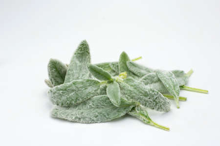 Exotic edible plant stachys byzantina isolated in white background