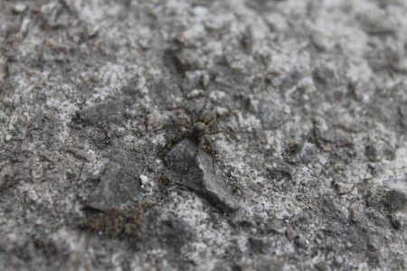 masquerading: A spider is masquerading on the rock Stock Photo