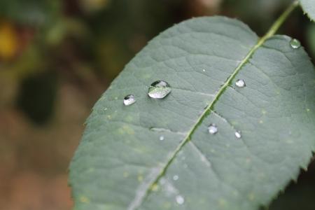 dewdrop: Dewdrop on a rose leaf Stock Photo
