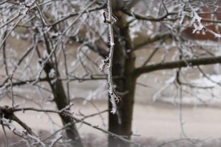 hoar frost: Hoar frost on the tree