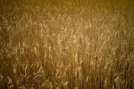 steadily: A big field of golden reed in the sun