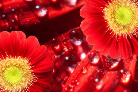 daisie: Two red gerbera blossoms in front of a background with fresh drops of water