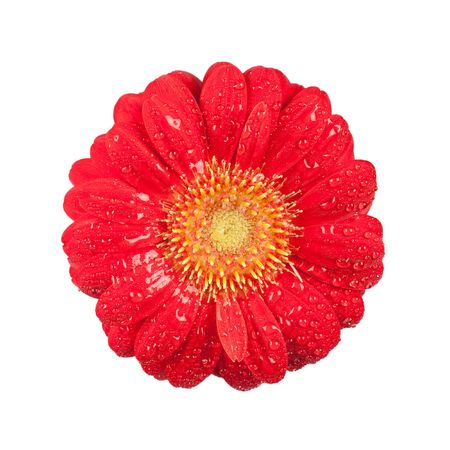 nicely: Close-up of a single red Gerbera Blossom with drops of water, isolated on white background