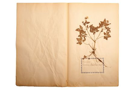 herbary: Pressed flower on old, gone yellow paper (Herbary, sheet 2)
