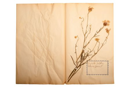 herbary: Pressed flower on old, gone yellow paper (Herbary, sheet 3)