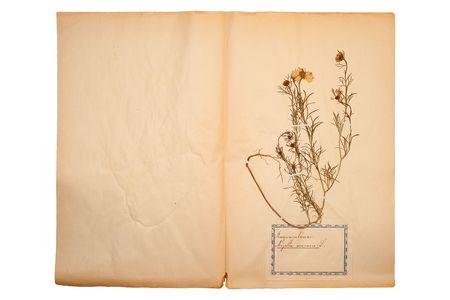herbary: Pressed flower on old, gone yellow paper (Herbary, sheet 5)