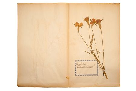 herbary: Pressed flower on old, gone yellow paper (Herbary, sheet 6) Stock Photo