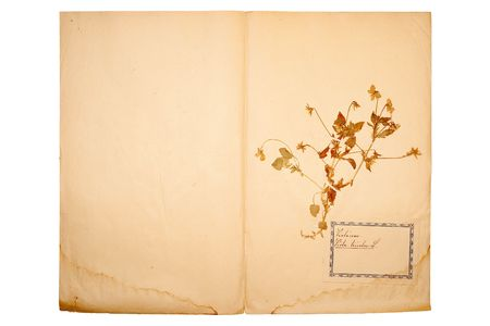 herbary: Pressed flower on old, gone yellow paper (Herbary, sheet 8)