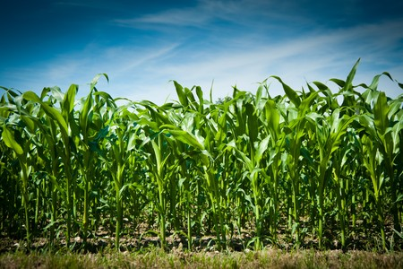 corn stalk: Corn field under blue sky with white clouds