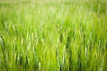 Fresh, green barley field as a background motive Stock Photo