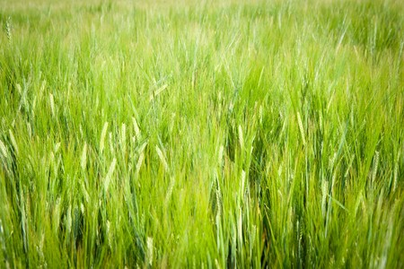 Fresh, green barley field as a background motive Standard-Bild