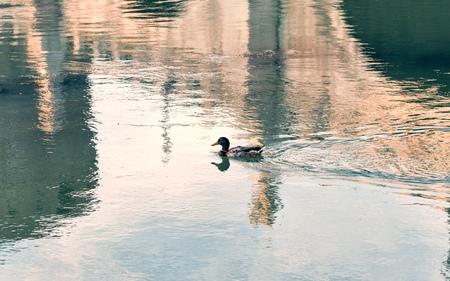 tevere: Duck swimming in Tevere River in Rome
