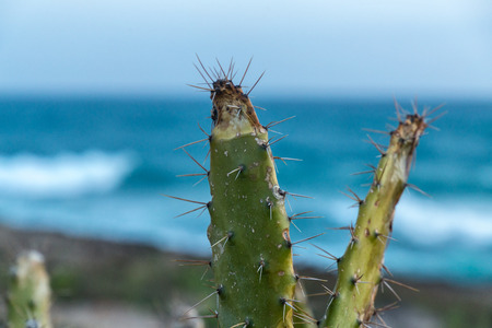 prickly pear over blue sea and sky