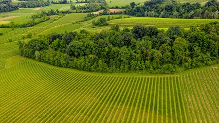 rows of grapes in Veneto Italy. Aerial landscape. Rural scene. Panoramic view. Bird view by drone 版權商用圖片