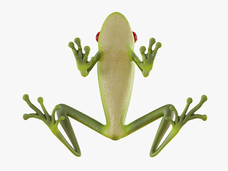 Green frog bottom view on white background 3d rendering Stock Photo