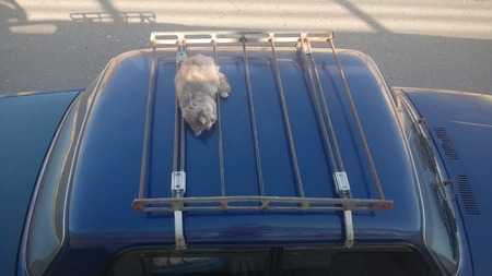 Gray fluffy cat lying on the trunk of a blue car