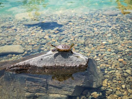 The turtle is lying on a stone basking in the sun on the background of transparent beautiful water Sochi Park 스톡 콘텐츠