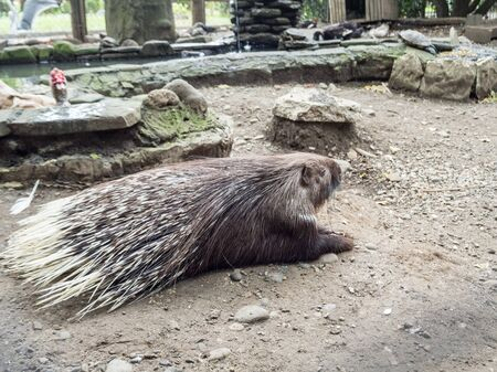 Porcupine with long needles lying on the ground. Park Arboretum Stock Photo