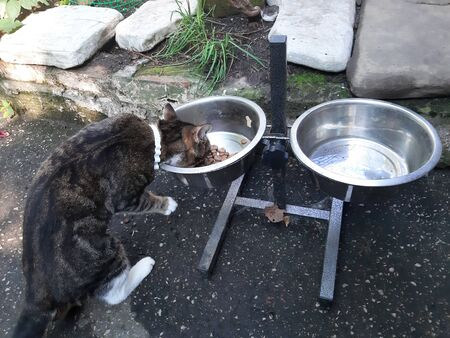 Cat with a white flea collar eating food from dog bowl
