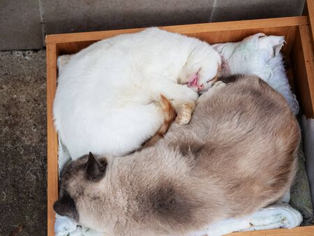 White cat sleeps, sticking out its tongue next to another cat in wooden box