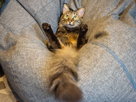A cat with a fluffy tail lies on a soft pillow with its paws up and looks up