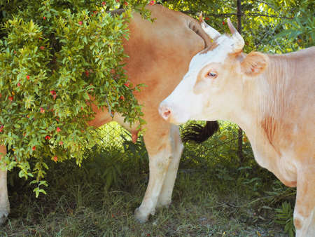 Red cows standing in the bushes on dry grass against the background of a mesh fence