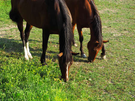 Two brown horses with dark manes graze on a green meadow on a sunny day