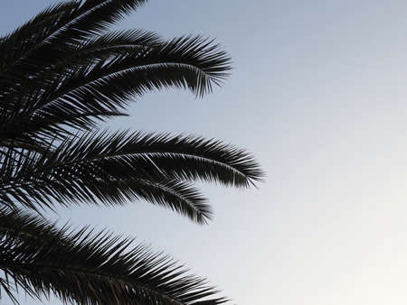 Long branches of a palm tree with sharp leaves against the evening sky. Closeup photo