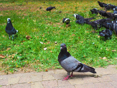 A gray dove stands on the paving slabs against the background of a flock of doves on a green lawn