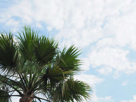 The top of a green spreading palm tree against a background of blue sky and white clouds