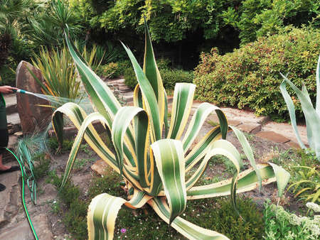 Green agave grows on a lawn in a park surrounded by bushes of trees and palms