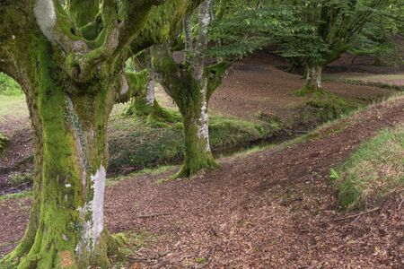 Warm beech forest with reddish soil, moss in the trunks & a little stream running through it at the Basque Country, Spain