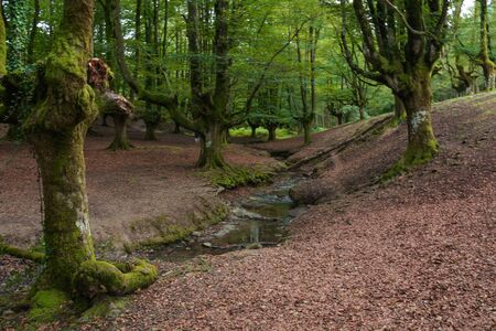 Stream running across a beech magical forest, reddish & greenish composition of the scene at the Basque Country, Spain