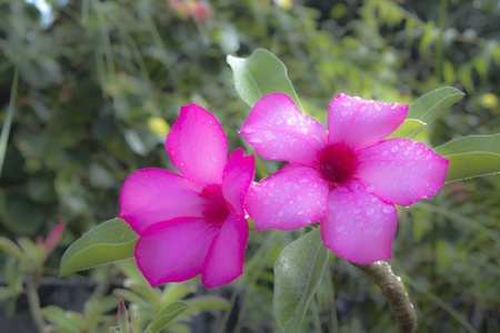 adenium flowers. photo