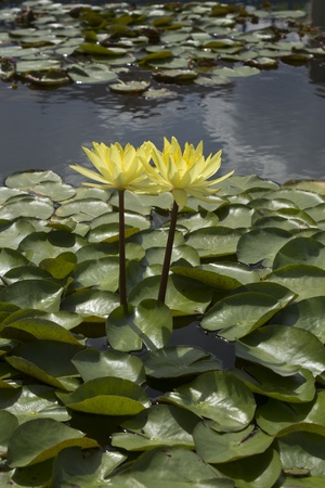 lotus flower on isolate background