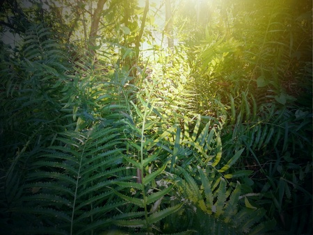 Sunlit ferns in garden