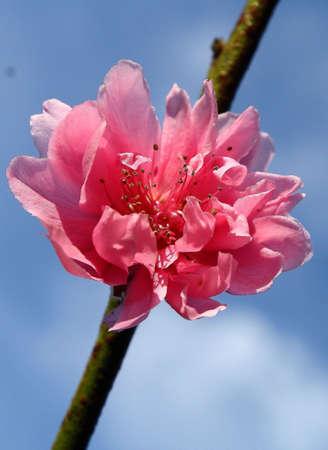 botan: Botan Flower