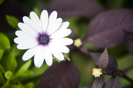 White African Daisy Stock Photo
