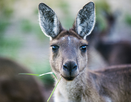 Kangaroo Face Stock Photo