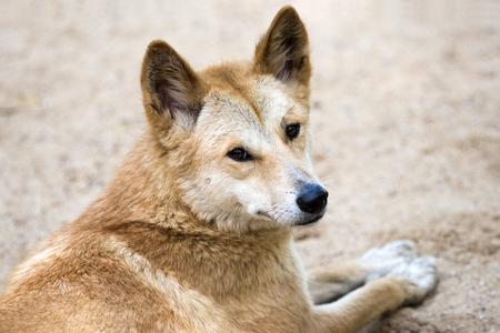 Dingo looking over shoulder Stock Photo