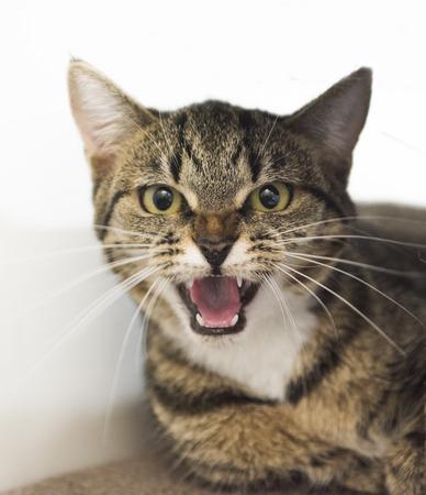 Hissing cat. Stock Photo