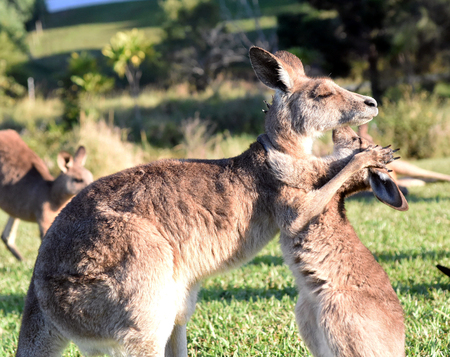 Kangaroo giving joey a hug 스톡 콘텐츠