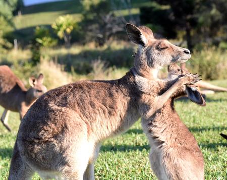 Kangaroo giving joey a hug Foto de archivo