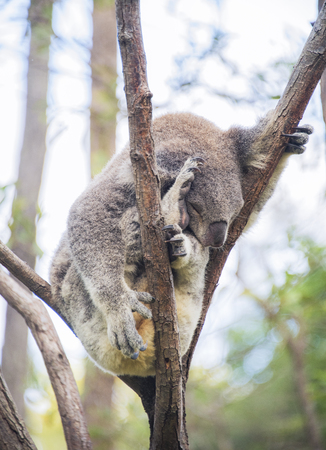 Sleeping koala squashed in tree Standard-Bild